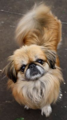 Pekingese Dog - Chinese Lion Dog