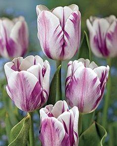 Tulip, Sparkling Flag