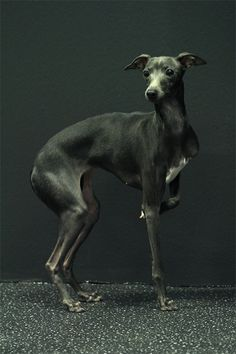 pretty grey...I have an Italian Greyhound named Bella and she's white and tan.  They are such sweet dogs!