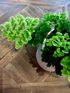 Maidenhair Fern  A perch addition to any indoor room with indirect or filtered light.  $25  (Pot sold separately )