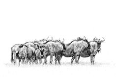 B&W african wildlife print of wildebeest by wildlife photographer Dave Hamman African Animals, African Art, Wildlife Photography, Animal Photography, Pottery Animals, Picture Collection, Wildlife Art, Colouring Pages, Animal Drawings