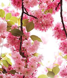 It's coming soon... Cherry Blossom time in High Park