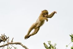 Baby monkey leaping
