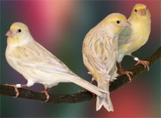 Opal canaries