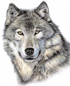 The Wolf Drawing - The Wolf Fine Art Print