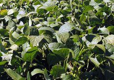 En la zona sudeste de la provincia de Buenos Aires, los cultivos de soja están transitando los estadíos relacionados con la formación de vainas y los granos. Este momento es de crucial importancia para el productor, ya que cualquier problema que se p