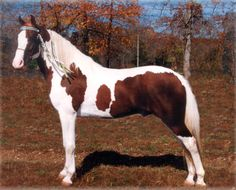 Missouri Fox Trotter stallion Barney Fife's General Ike