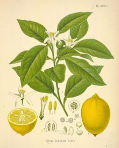 Lemon oil: aromatherapy, health benefits and uses of lemon essential oil! It is so good for you!