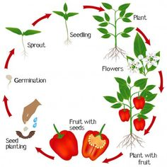 Cycle of growth of a plant of red pepper on a white background.
