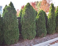 Arborvitae (Thuja) (privacy at barn along trail) Arborvitae will flourish where no other evergreen does, spreading a lush screen of fan-like foliage that provides privacy. Privacy Landscaping, Garden Landscaping, Backyard Privacy, Outdoor Plants, Outdoor Gardens, Outdoor Life, Outdoor Ideas, Backyard Ideas, Garden Site