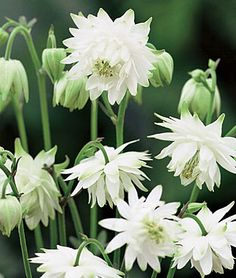 Columbine, Lime Sorbet