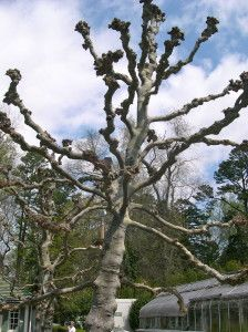 POLLARDED TREE.  REYNOLDA HOUSE AND MUSEUM.  WINSTON-SALEM,NC