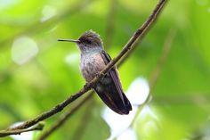 Foto beija-flor-de-banda-branca (Amazilia versicolor) por Ranmilton Souza | Wiki Aves - A Enciclopédia das Aves do Brasil