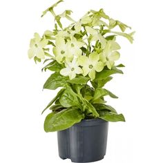 Blomstertobak Plants, Plant, Planting, Planets
