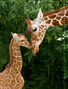 Giraffes, so beatiful  Photo by http://thrumyeye.deviantart.com/art/Magic-Moments-57710121?q=gallery%3Athrumyeye%2F40252=13