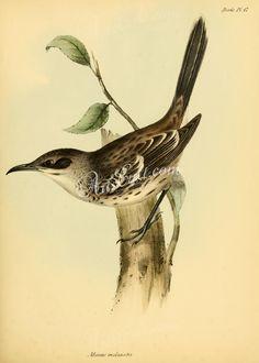 San Cristobal Mockingbird      ...