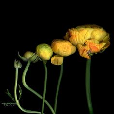 THE MATURATION, Ranunculus… by Magda Indigo on 500px