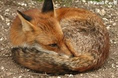 Cute Red Fox curled-up resting