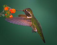 Stock Male Anna's Hummingbird II by Good-e-nuf on DeviantArt