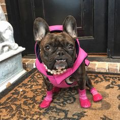 See this Instagram photo by @cocothecutestfrenchie • 109 likes