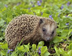 Hedgehog Walking In High Resolution