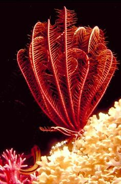 Feather star-Echonoderm