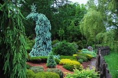 Conifer Collection . Picea pungens 'Skyline' in the heather garden
