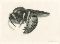 SURRENDER (wasp), 8 X 11 inches, graphite drawing on paper, By Dale Marie Muller