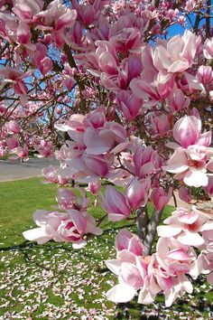 Flora Flowers, Blooming Flowers, Flowers Nature, Spring Flowers, Magnolia Trees, Magnolia Flower, Saucer Magnolia Tree, Amazing Flowers, Beautiful Flowers
