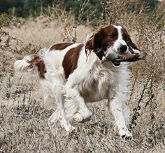 Hunting Dogs, Coyote Hunting, Turkey Hunting, Archery Hunting, Red And White Setter, Pheasant Hunting, Hunting Blinds, White Dogs, Doge