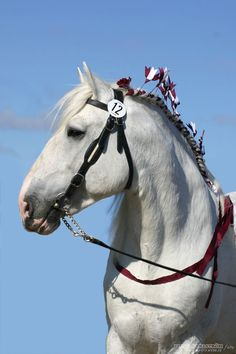Bodernog Baron, shire stallion
