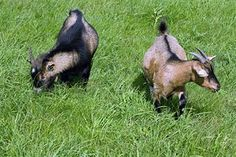 How To Raise Goats for Profit and Avoid the Pitfalls