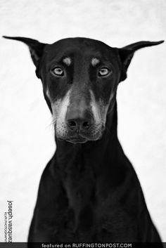 The Doberman Pinscher is among the most popular breed of dogs in the world. Known for its intelligence and loyalty, the Pinscher is both a police- favorite Pets, Pet Dogs, Dogs And Puppies, Dog Cat, Doggies, Baby Dogs, Beautiful Dogs, Animals Beautiful, Cute Animals