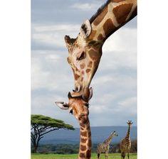 Küssende Giraffen Poster. Hier bei www.closeup.de
