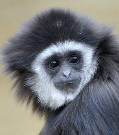 Gibbon monkey by floridapfe, via Flickr