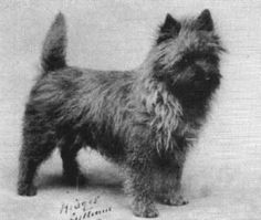 (1931 pic) Cairn Terrier .... this is the breed of dog that Toto from the Wizard of Oz was.