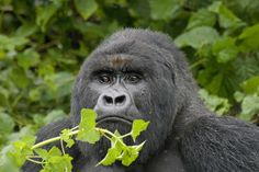 [National Geographic] The Lost Gorillas of The Virunga (Nature Documentary)