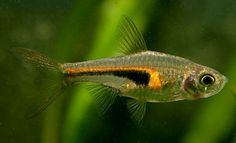 A member of the Gadidae family, the Pacific tomcod is a small fish with minor commercial importance, due to its small average size. Best Aquarium Fish, Tropical Aquarium, Freshwater Aquarium Fish, Planted Aquarium, Tropical Fish, Aquarium Store, Beautiful Fish, Animals Beautiful, Aquascaping