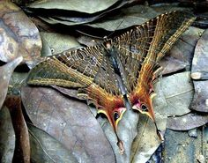 Eyetail Moth - Sematura lunus