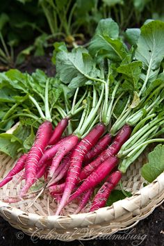 Long Scarlet radishes from the Colonial Garden. Credit: Colonial Williamsburg