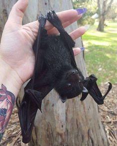 Cute little bat! Cute Creatures, Beautiful Creatures, Animals Beautiful, Cute Baby Animals, Animals And Pets, Funny Animals, Photo Animaliere, Fruit Bat, Cute Bat