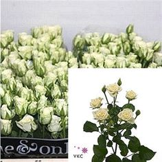 Snowflake are a lovely white multi-headed Spray Rose variety. Stem length: 50cm. Wholesaled in 20 stem wraps.