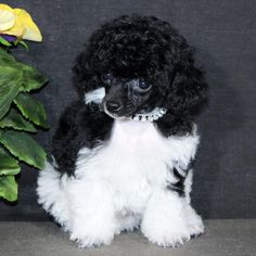 Pin on poodle haircuts