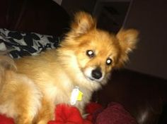 Toby is an adoptable Pomeranian Dog in CHARLOTTE, NC. Toby is a 3-4 yr old Pomeranian. This lil guy takes a bit to warm up completely and trust. He has a couple of quirks such as having to be coaxed d...