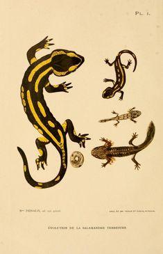 Recherches embryologiques, histologiques et physiologiques sur les glandes à venin de la salamandre terrestre. - Biodiversity Heritage Library