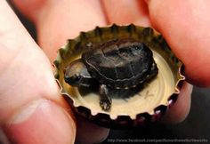 Funny pictures about Super tiny turtle. Oh, and cool pics about Super tiny turtle. Also, Super tiny turtle. Small Turtles, Tiny Turtle, Turtle Love, Cute Turtles, Baby Turtles, Turtle Baby, Turtle Ring, Pet Turtle, Cute Baby Animals