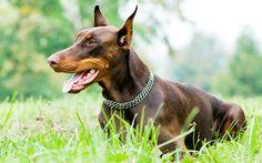 Animals___Dogs_Brown_doberman_on_the_grass_047956_.jpg (2560×1600)