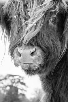Home Decor Elegant Highland Cattle 5 - Fine Art Photography - Cow - Nature Photography.Home Decor Elegant Highland Cattle 5 - Fine Art Photography - Cow - Nature Photography White Photography, Animal Photography, Fine Art Photography, Nature Photography, Photography Aesthetic, Photography Magazine, Photography Studios, Digital Photography, Family Photography