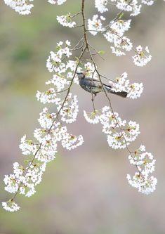 今日のヒヨドリ:平野部の桜は、すっかり散ってしまいましたが、高地では今が見頃。ヒヨドリやメジロが花の中から湧き出してくる感じです。