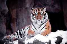 A very majestic Siberian tiger lies on top of a rock on a white Christmas eve and examines me calmly.
